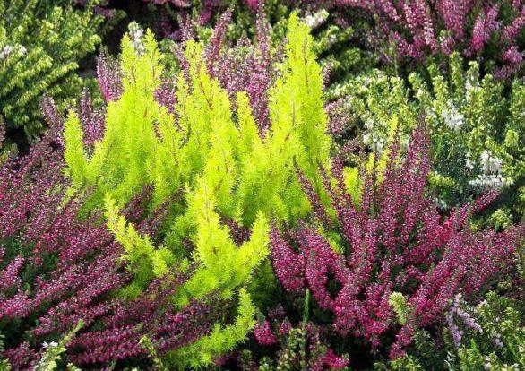 Махровые фиолетовые цветки