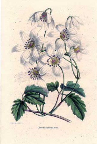 Цветки чисто-белые с желтыми тычинками