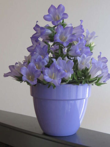 Цветки крупные, белые или голубовато-сиреневые
