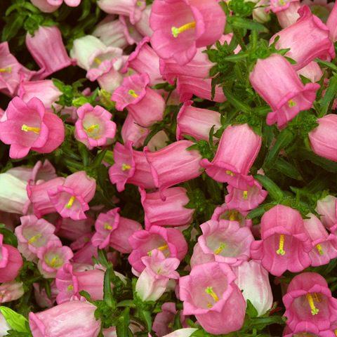 Цветки в метельчатых соцветиях, на толстых цветоносах