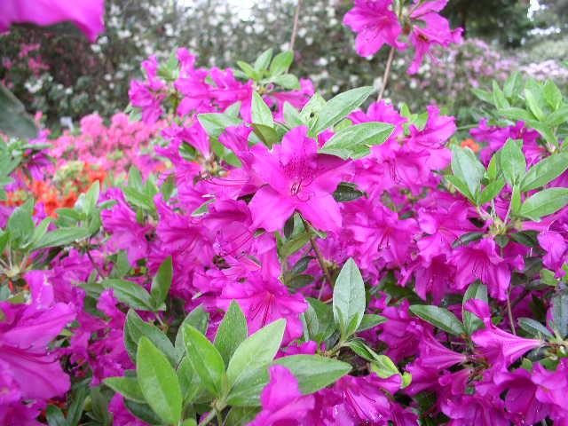 Цветки розовые с сиреневыми тычинками