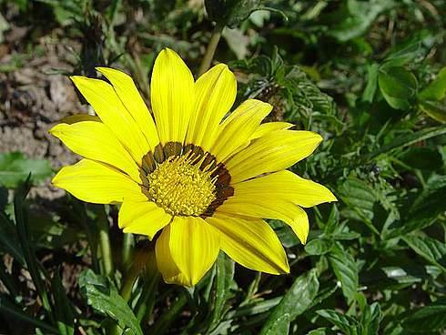 Сорт образует соцветия до 8 см в поперечнике