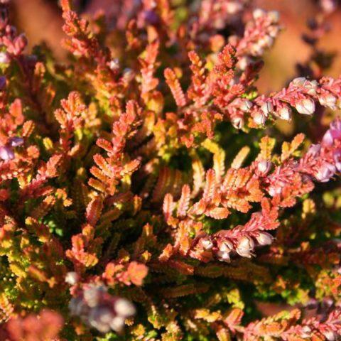 Сорт с ярко-золотистой летней листвой