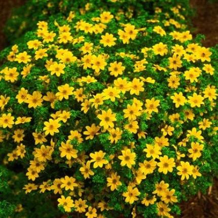 Золотистые соцветия-корзинки