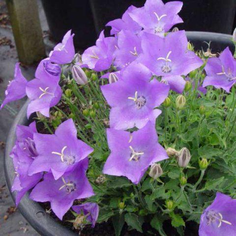 Светло-лиловые цветки