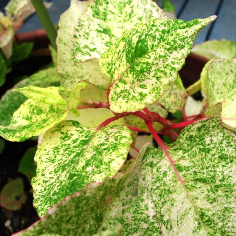 Пестрые кремово-зеленые листья