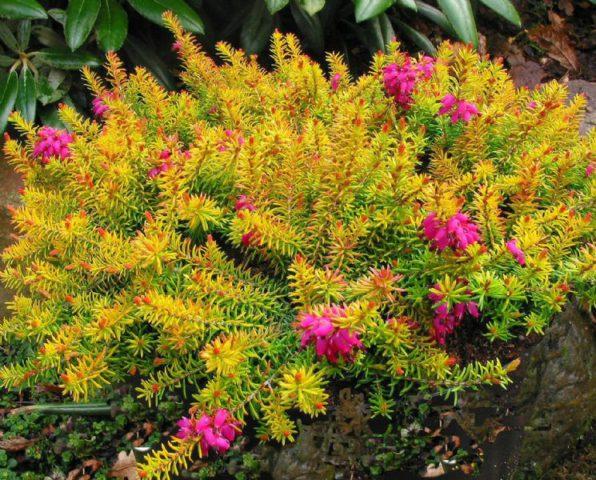 Розово-лиловые цветки и желто-оранжевые листья в течение всего года