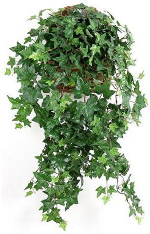 Крупное лазящее растение
