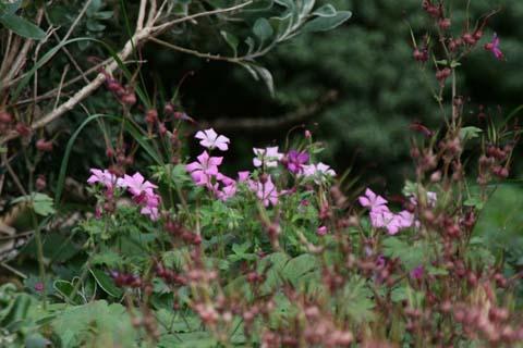 Крупные цветки темно-розовые, с более темными жилками