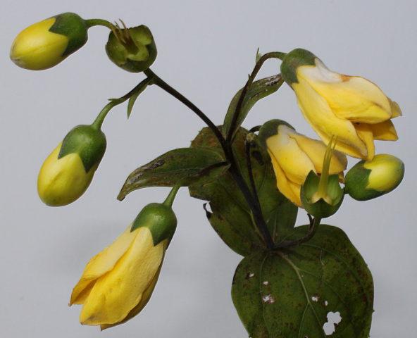 Светлые, торчащие вверх цветки