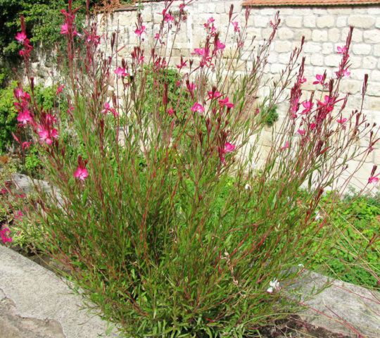 Цветки белые с розовым румянцем