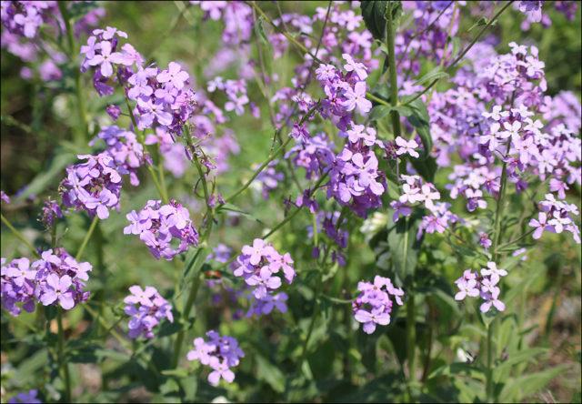 Сиреневые или белые цветки