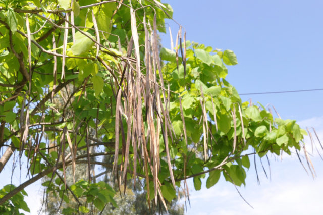 Листья раскидистого дерева