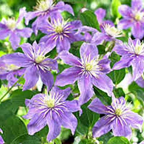 У сорта цветки крупные