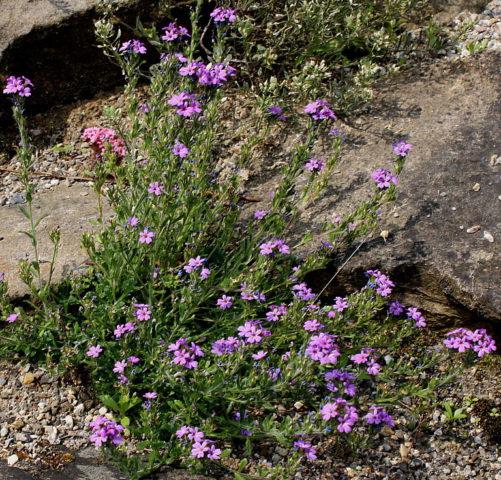 Мелкие фиолетовые цветки