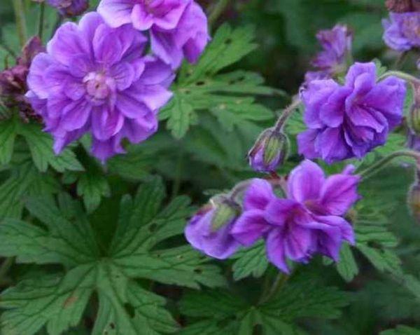 Цветки сорта махровые