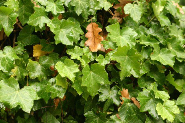 Зеленые листья с волнистыми краями