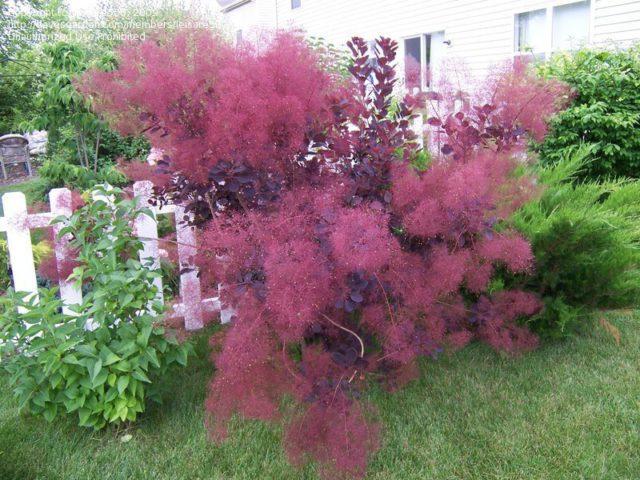 Листья темно-пурпурные