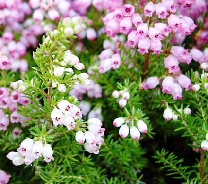 Соцветия из белых цветков