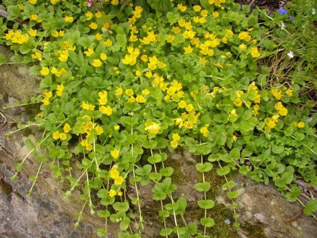 Блестящие желтые чашевидные цветки