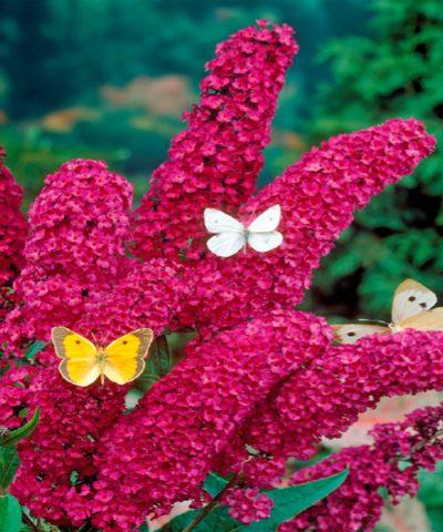 Цветки темно-красные