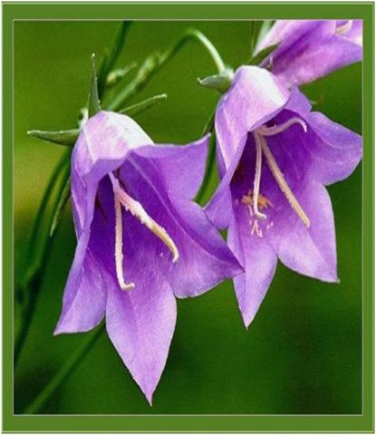 Сорт с маленькими фиолетово-синими цветками