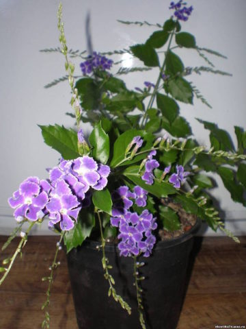 Вид с продолжительным цветением