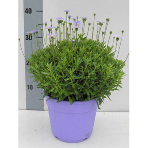 Травянистый многолетник