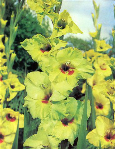 Сорт образует зеленовато-желтые цветки с красноватым пятном