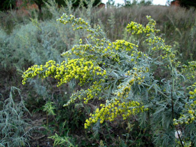 Цветки мелкие, желтые