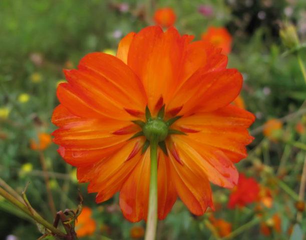 Соцветия из оранжевых цветков