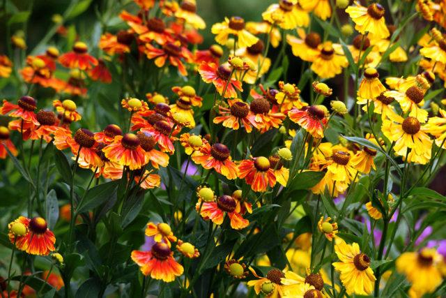 Множество желтых соцветий