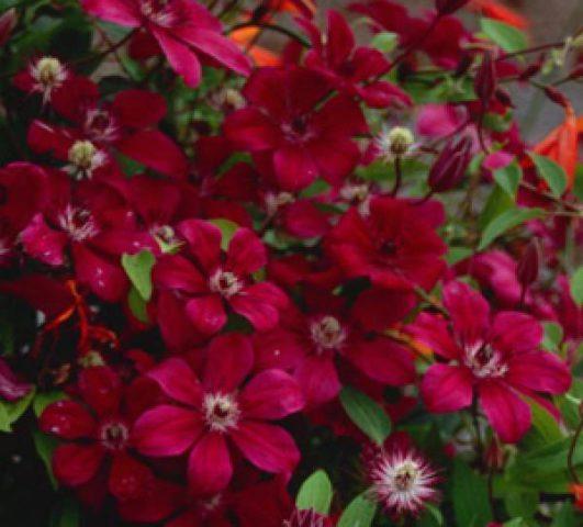 Цветки крупные, до 20 см в диаметре