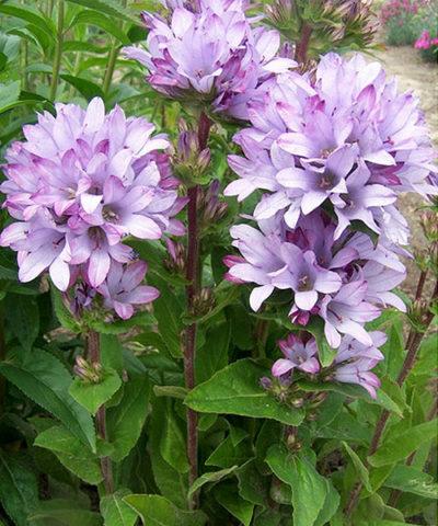 Цветки фиолетовые или пурпурные