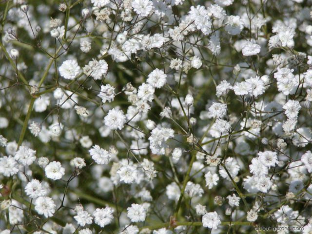Крошечные белые махровые цветки