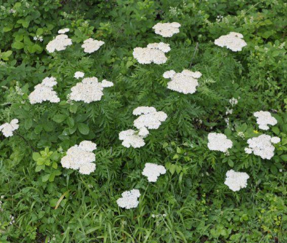 Кремово-белые цветки в соцветиях