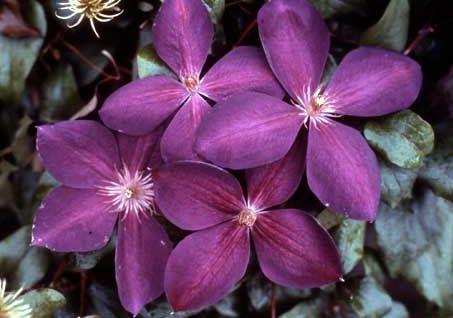 Сорт образует малиново-фиолетовые цветки