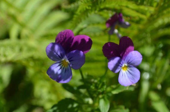 Сорт образует темно-синие цветки