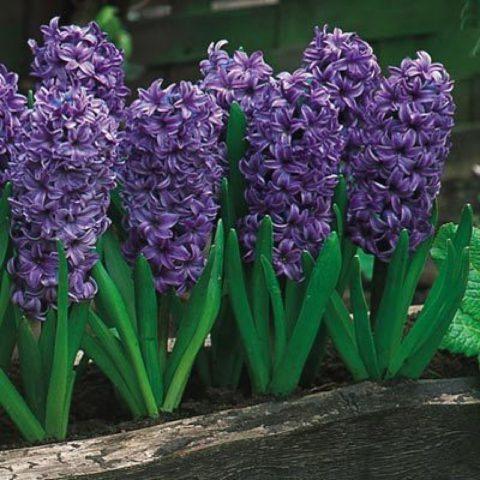 Цветки темно-синие