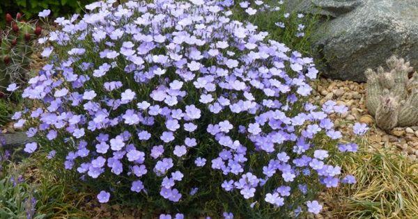 Лазурные цветки
