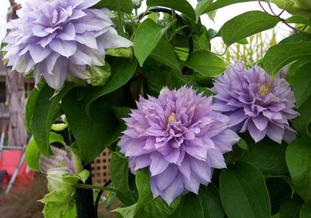 Цветки пионовидные