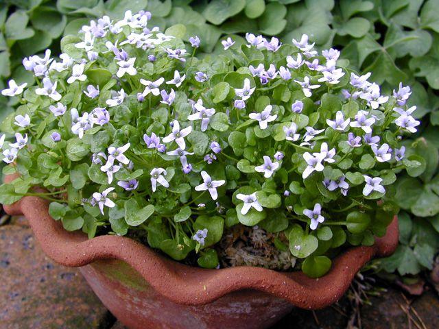 Цветет сиреневыми четырехлепестными цветками