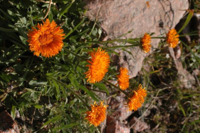 Ярко-оранжевые соцветия