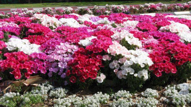 Окраска варьирует от белого до розового, оранжевого и красного