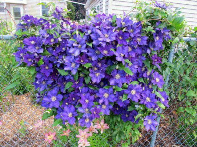 Цветки до 12,5 см в диаметре