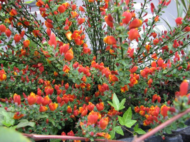 Красно-желтые цветки