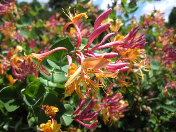Цветет ароматными розовыми и кремовыми цветками