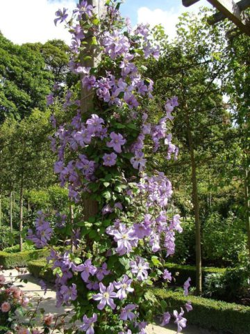 Сорт в изобилии образует светло-фиолетовые цветки