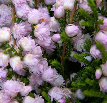 У сорта на компактных подушках выделяются махровые розовые цветки