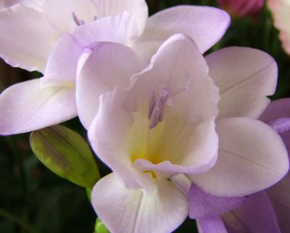 Сорт с белыми цветками